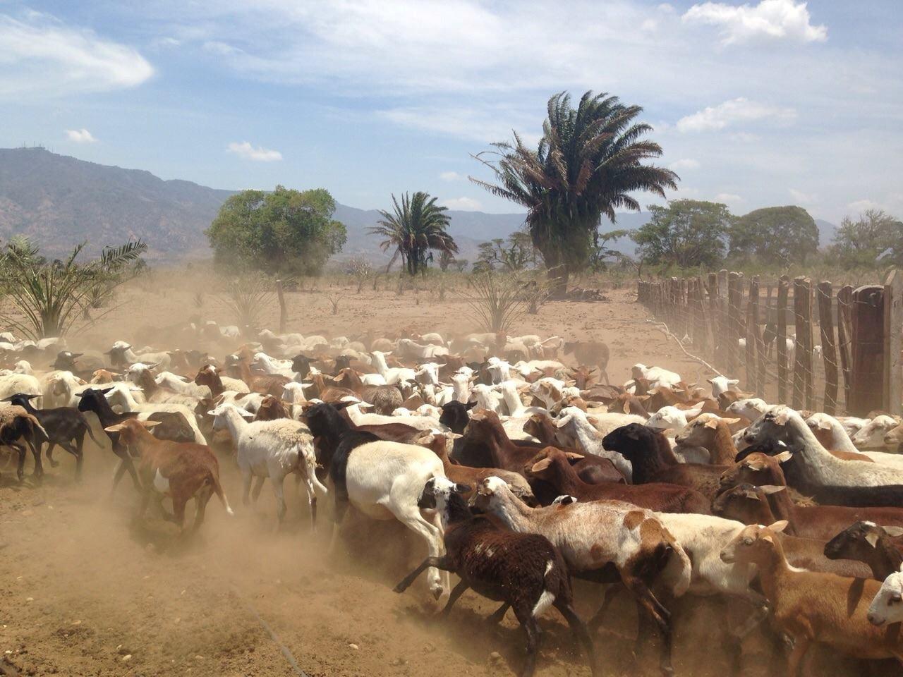Foto 2. Proyecto ovino en la Finca El Sequión. Cortesía: El Cerrejón.