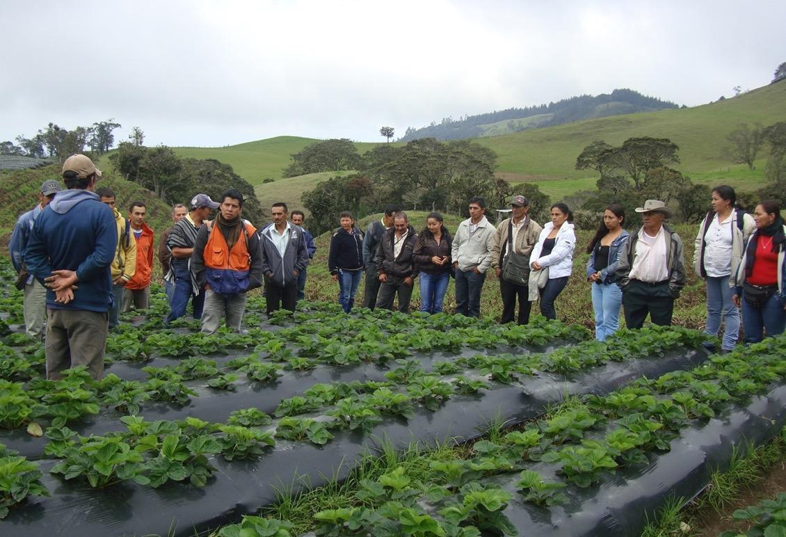 Generación de Ingresos - Fresa - Sotará - Cauca. Cortesía: Fundación Smurfit Kappa Colombia.